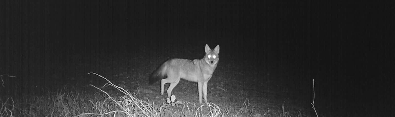 Coyote Hunting at Night: Best Night Time Tips